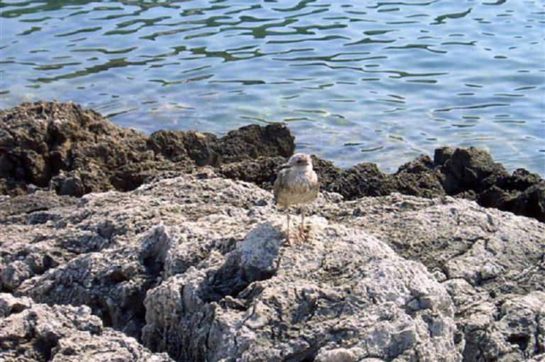 Isole Tremiti: Diomedea