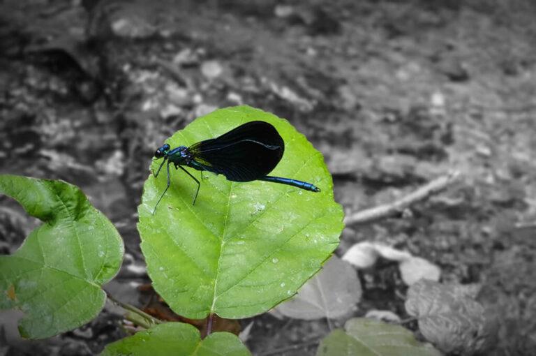 La cascata delle libellule blu e la cascata della ferriera: libellula blu